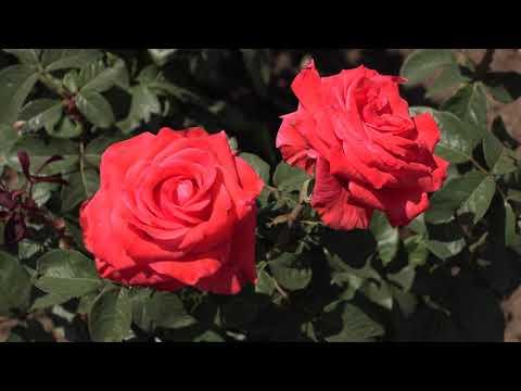 Вопрос: Сорт розы Dunham Massey какие отзывы, мнения?