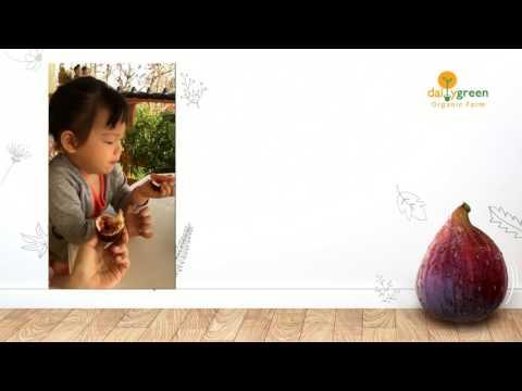 Daily Green Organic Farm Organic Fresh Figs by Aunya 1