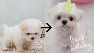말티즈 1년간의 성장#이별#강아지의마지막#1살강아지#파…