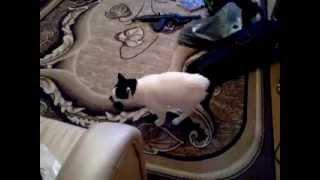 Кастрированный кот и муськи