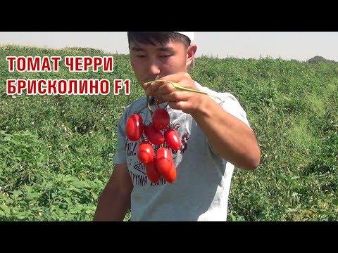 Плотный томат черри БРИСКОЛИНО F1 | высокоурожайный | выращивание | брисколино | томата | семена | черри | briscolino | genetics | united | че