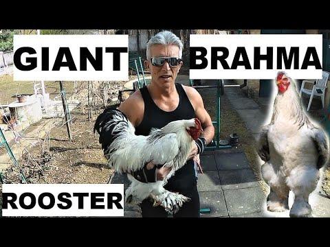Download Óriás BRAHMA - GIANT Chicken