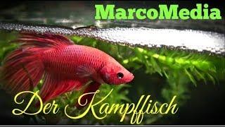 Der Siamesische Kampffisch- Betta splendens ( Fortpflanzung und Aufzucht )