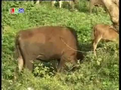 mô hình chăn nuôi bò lai sind