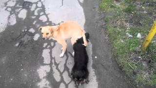Собака-Дракон Дубно