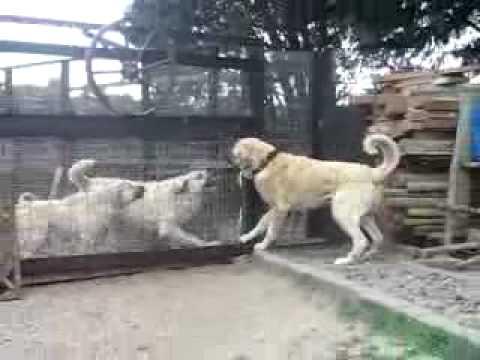 Kurdish Kangal Dogs K 252 Rt Kangal K 246 Pekleri Youtube