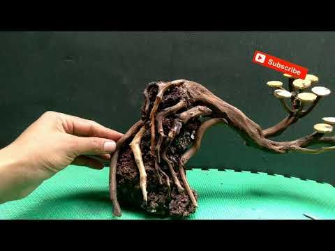 membuat-bonsai-aquascape-simple-#aquascapebonsai-#aquascapeindonesia