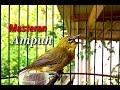 Masteran Pleci Kekinian Cocok Untuk Pleci Ombyokan  Mp3 - Mp4 Download