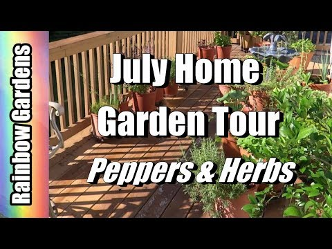 July Home Garden / Container Tour Herbs, Peppers, Kaffir Limes, All Spice, Cucumbers, More!