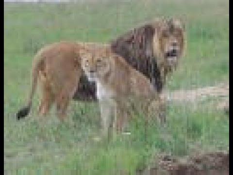 Mile High Jungle Panama Lion Rescue