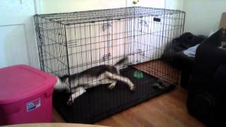 Siberian Husky Puppy Escape - She Hates Her Cage
