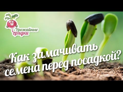 Как замачивать семена перед посадкой? #urozhainye_gryadki