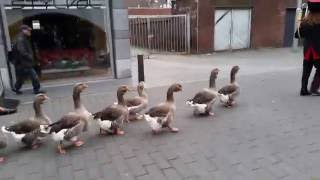 De Ganzenfanfare (The Geese Parade)