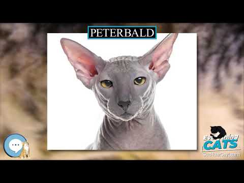Peterbald 🐱🦁🐯 EVERYTHING CATS 🐯🦁🐱