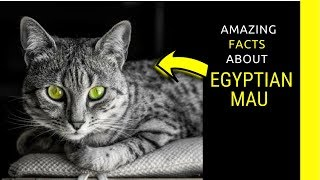 Egyptian mau facts Fascinating facts about Egyptian mau cats