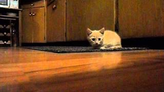 Cute Kitten: Mr. Tones sneak Attacks!