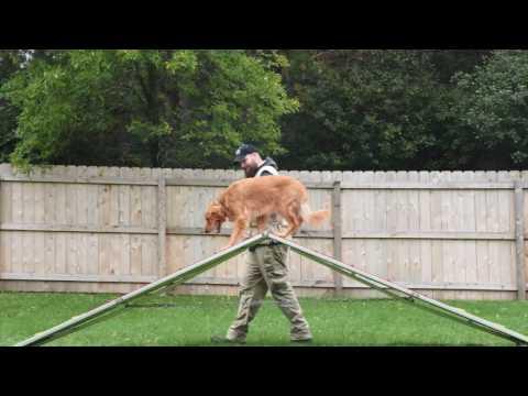 Sam (Golden Retriever) Boot Camp Dog Training Demonstration