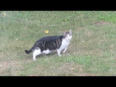 Bad cat has Frog, Frog escapes....
