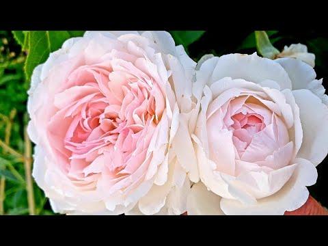 Жара... Розы... Рассказываю о сортах. Roses in my garden
