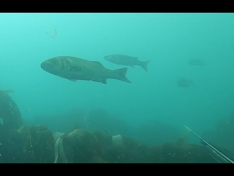 Spearfishing At Chesil Cove