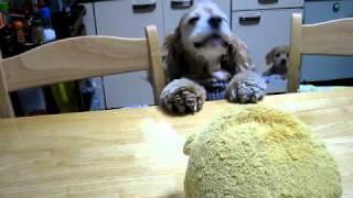 テーブルの上にあるプーさんを取ろうと必死な犬 American Cocker Spanie...
