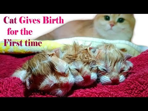 Cat Gives Birth For the First Time | ASMR | Too Cute