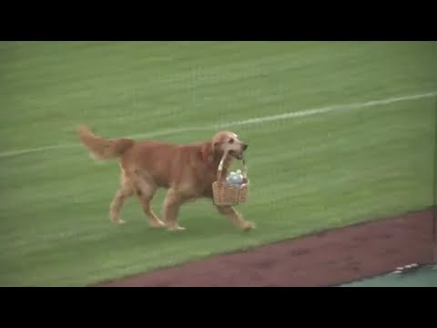 Dog carries water to players during baseball game