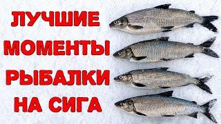 Лучшие моменты сиговой рыбалки зимнего сезона 2020 2021 гг Рыбалка в Карелии на Онежском озере