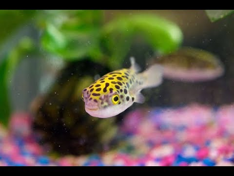 Green Spotted Puffer Fish Eating Live Pond Snail For The 1st Time Part 2