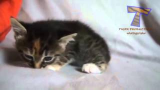 Коты и кошки: Маленькие котята мяукают (Little cats meowing)