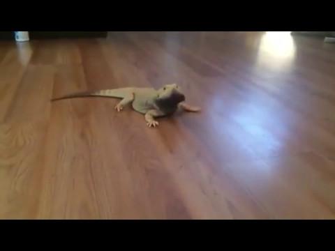 lizard shitpost