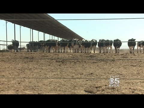 California Dairy Farmer Uses Cow Manure To Make Biogas