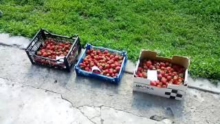 Первые 10 кг / Хороший урожай клубники / Сбор клубники