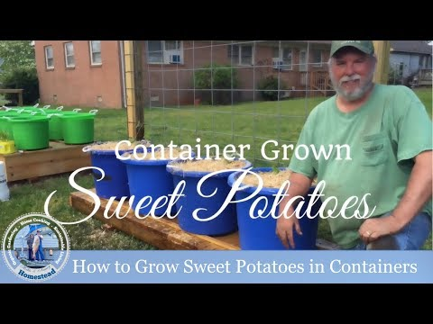 How to plant sweet potato slips in containers