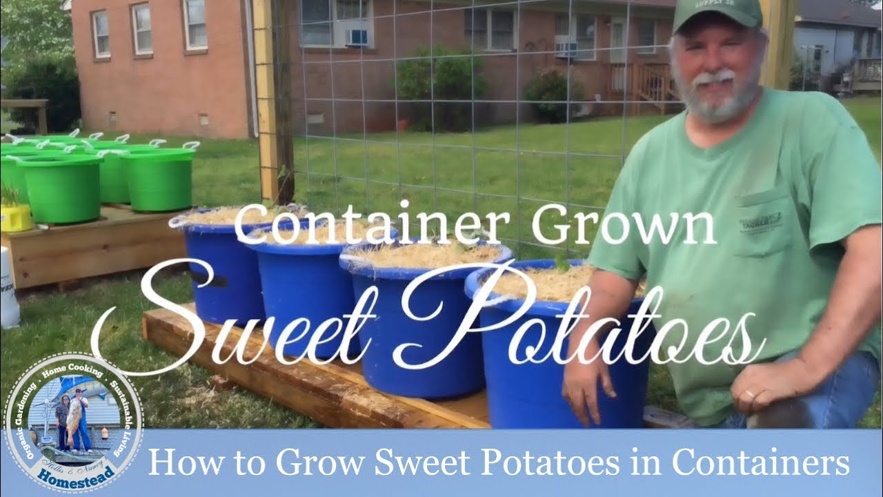 Hd How To Grow Sweet Potatoes In Containers Part 1 Of 3