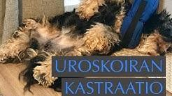 Uroskoiran kastraatio: havannankoira Laku