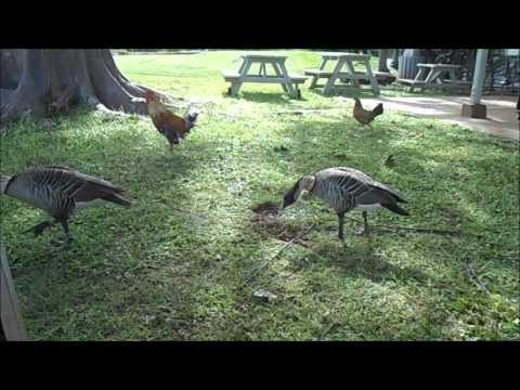 Hawaiian Nene Geese (Nene Goose).