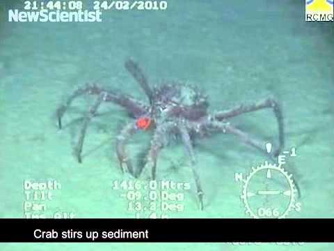 Giant crabs invade Antarctic seafloor