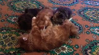 Котята породы Курильский бобтейл полдничают!