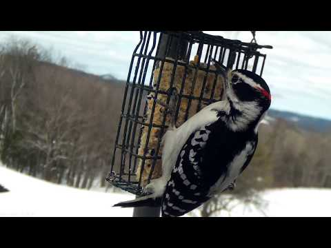 Male Hairy Woodpecker - zoom lens Mobius action camera capture