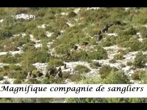 Magnifique compagnie de sangliers des hautes-Alpes