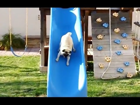 'Pugs on Slides Compilation' || CFS