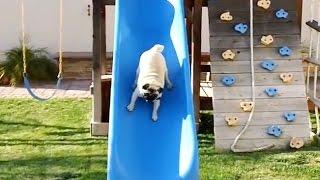 """""""Pugs on Slides Compilation""""    CFS"""