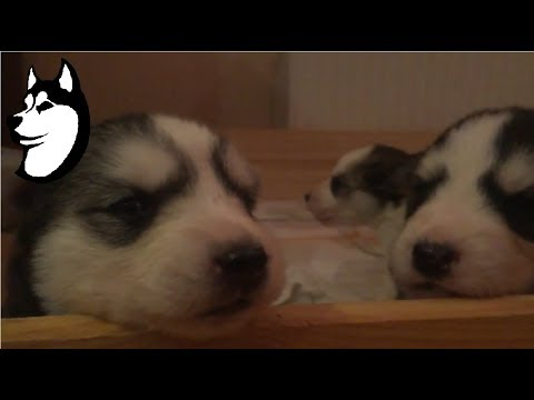 3 Weeks Old - Husky Puppies Walking On All Fours