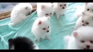 Video Lucu   Cute pug puppies   Pug puppies funny videos   funny animals for Kid   AndroidPlay