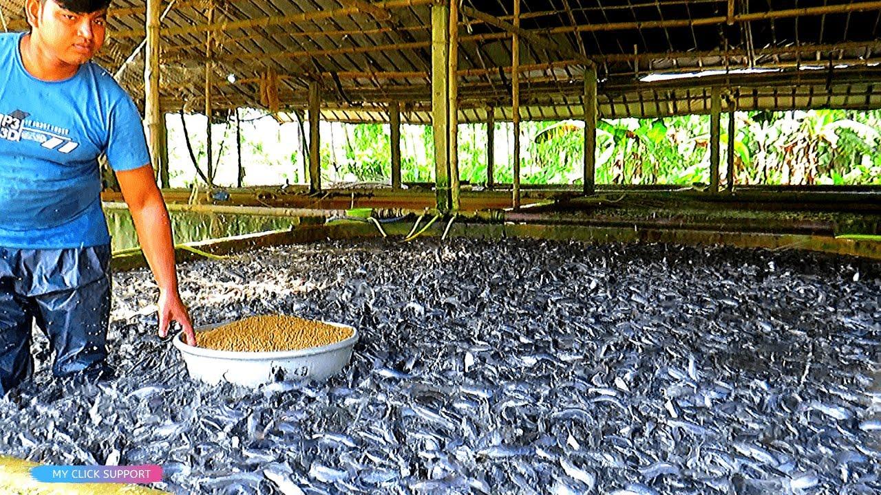 1 Rahasia Sukses Budidaya Ikan Gabus Di Kolam Terpal Gabus Ikan Terpal