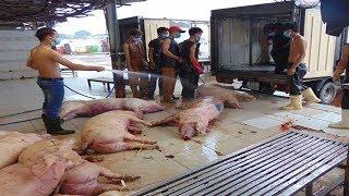 Bất cập xử lý hơn 3.000 con lợn bị tiêm thuốc an thần