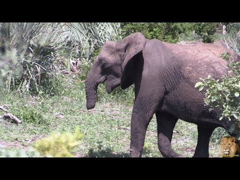 Amazing - Elephant With Bitten Of Trunk Trying To Eat