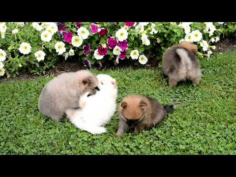 Amy's Pomeranian puppies for sale