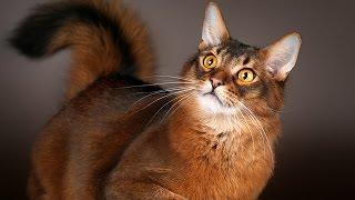 Сомалийская кошка - маленькая лисичка